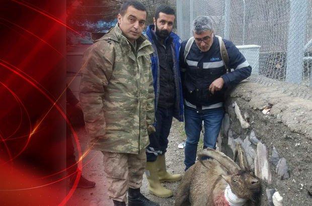 Avcılar, koruma altındaki dağ keçisini vurdu! Mehmetçik yine şefkat gösterdi!