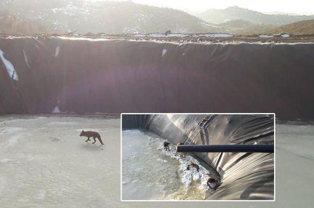 4 tilki, 2 köpek, 1 kedi... Buztutansulama havuzuna düştü!