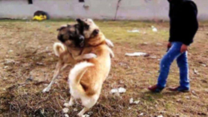 Niğde köpek dövüştürme
