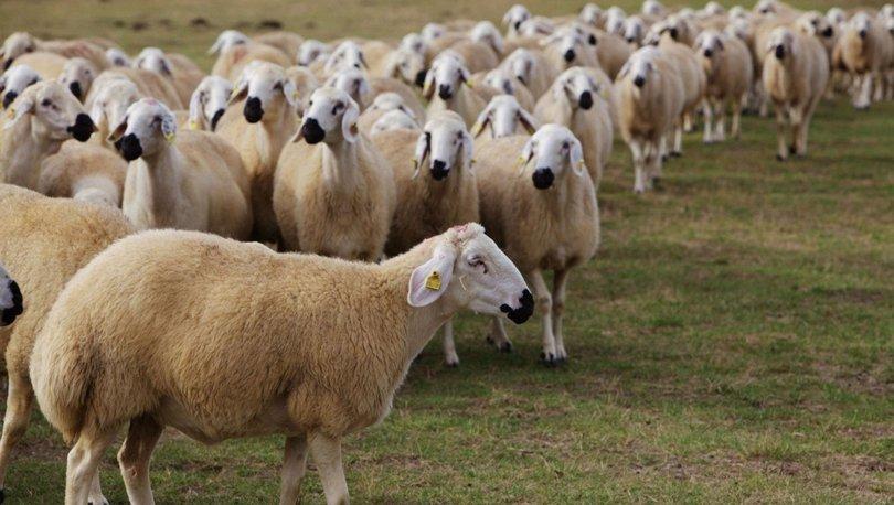 Anaç koyun keçi desteği