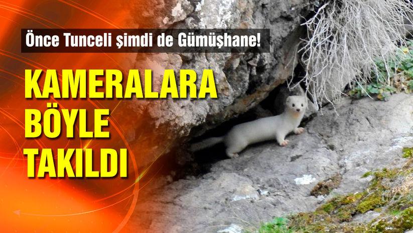 Tunceli'den sonra şimdi de Gümüşhane'de görüldü