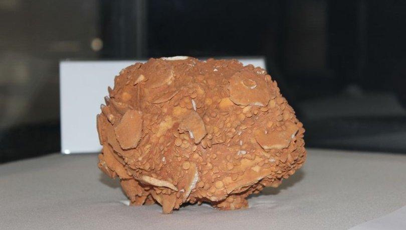 65 milyon yıllık dev salyangoz fosili büyük ilgi görüyor