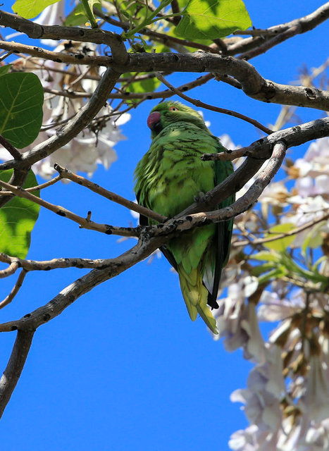 İzmir'in yeşil papağanları