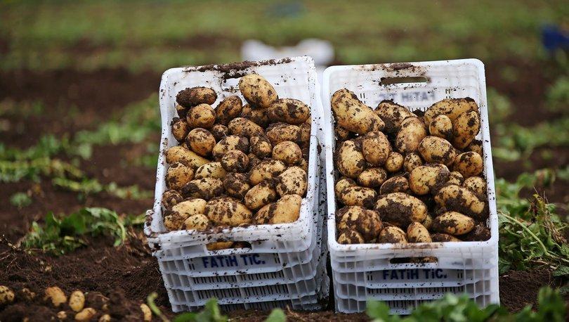 turfanda patates hasadı