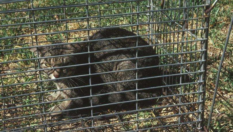 Avustralya iki milyon başıboş kediyi öldürmek için havadan zehirli sosis atıyor