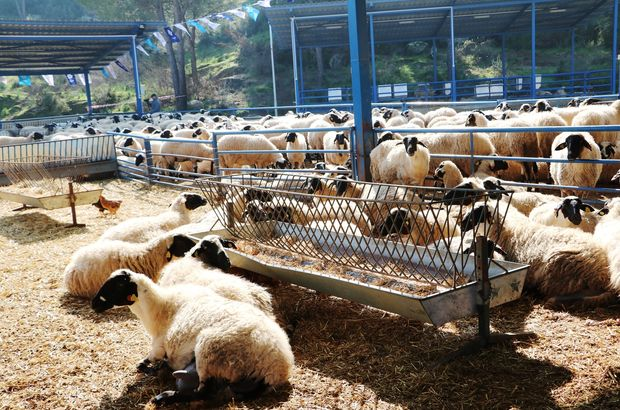 Genç Çiftçi için 13 bin 294 baş koyun alımı