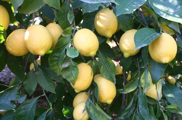 Nisan ayının şampiyonu limon