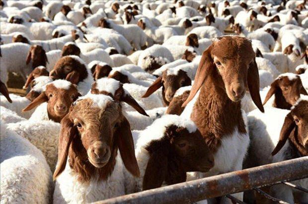 Genç Çiftçi Projesi için 10 bin 492 koyun alımı
