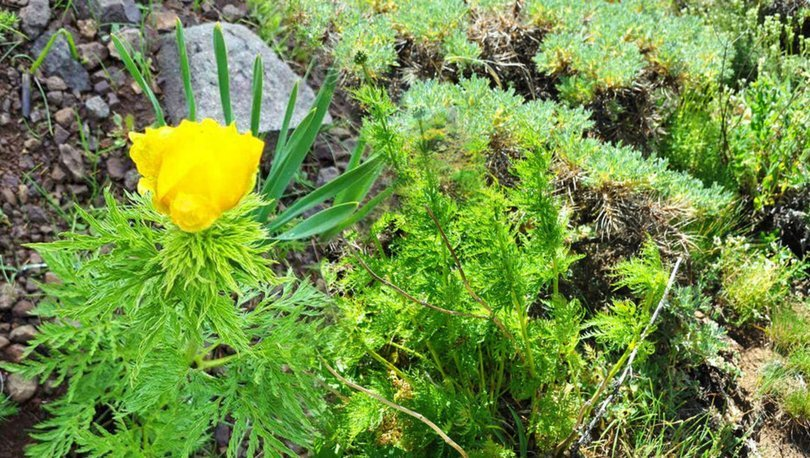 150 yıl sonra görülen 'kandamlası' bitkisine özel koruma