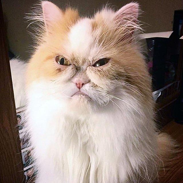 İnternetin yeni 'huysuz kedi'si