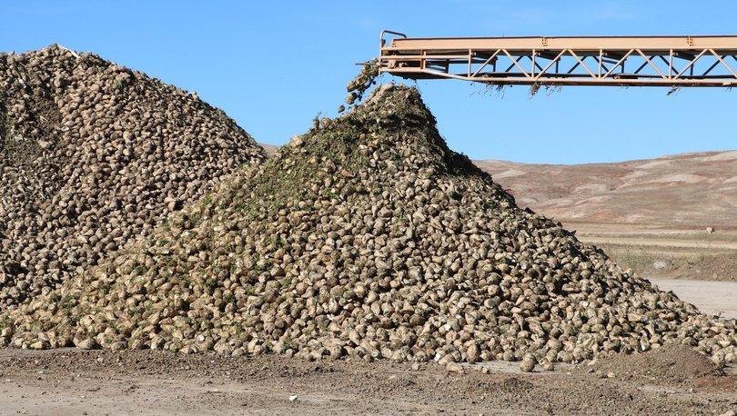 Şeker pancarı üretimi