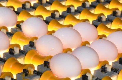 Yumurta üreticileri