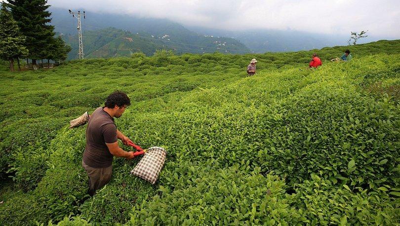 Çay üreticisine budama desteği bugün ödenecek