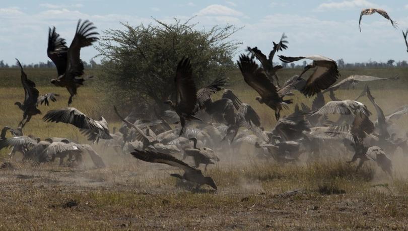 Botsvana'da 537 akbaba zehirlenerek öldürüldü: 'En büyük kuş katliamlarından biri'