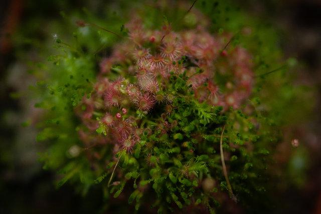 Bogota Botanik Bahçesi'ndeki etçil bitkiler