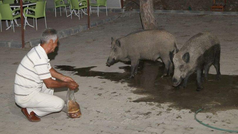 Fethiye'de bir vatandaş yaban domuzlarını elleriyle besledi