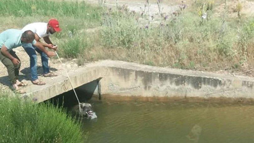 Denizli'de su kanalına düşen domuzu vatandaşlar kurtardı