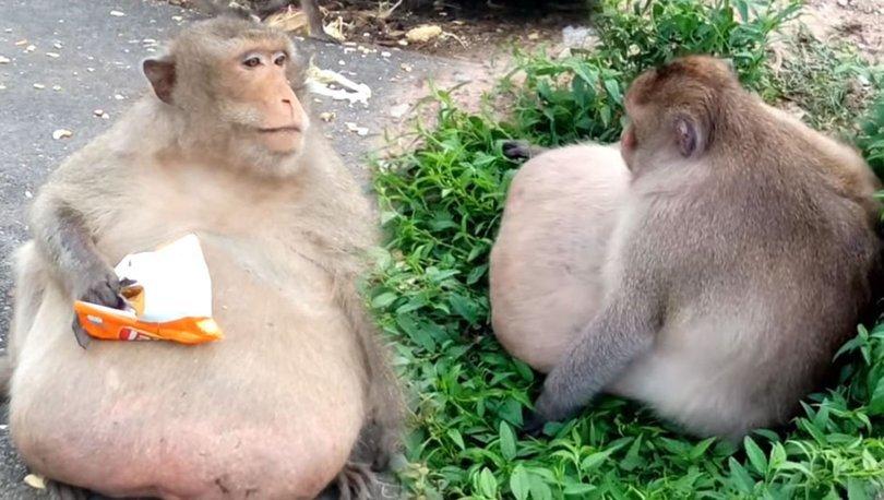 obez maymun