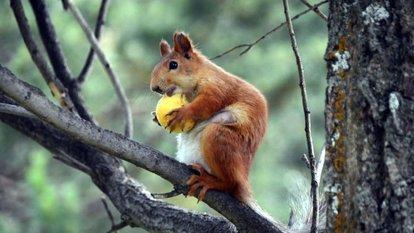 Kayısı yiyen sincaplar