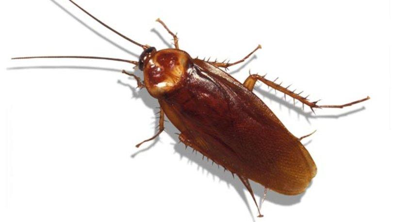 Kakalak böceği nedir? Kakalak böceği nasıl yok edilir?