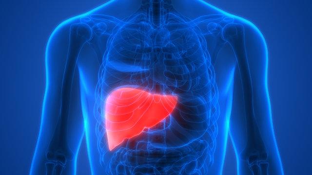 SON DAKİKA! Karaciğeri yenileyen besinler nelerdir? - SAĞLIK HABERİ