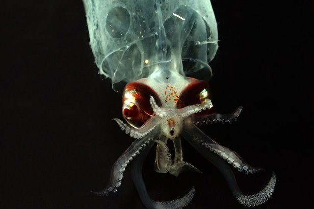 Birbirinden ilginç şeffaf canlılar