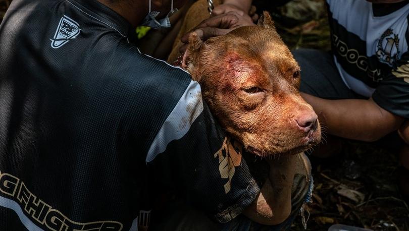 Hollanda'da köpek dövüştürenlere ilk kez hapis cezası verildi