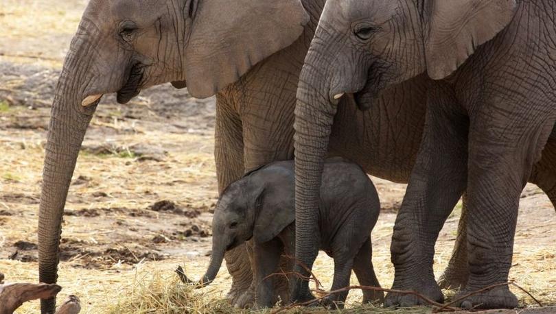 Yavru Afrika fillerinin doğadan alınarak hayvanat bahçelerine satılması yasaklandı