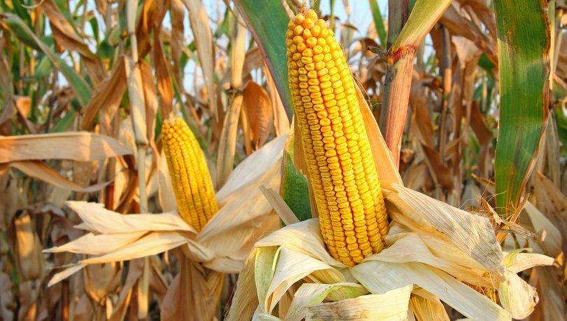 Üretici mısır fiyatlarının arttırılmasını istiyor