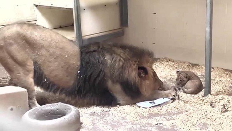 Aslanın yavrusuyla ilk karşılaşma anı