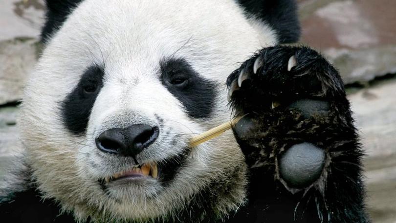 Panda Çuang Çuang'ın zamansız ölümüne Çin'den soruşturma