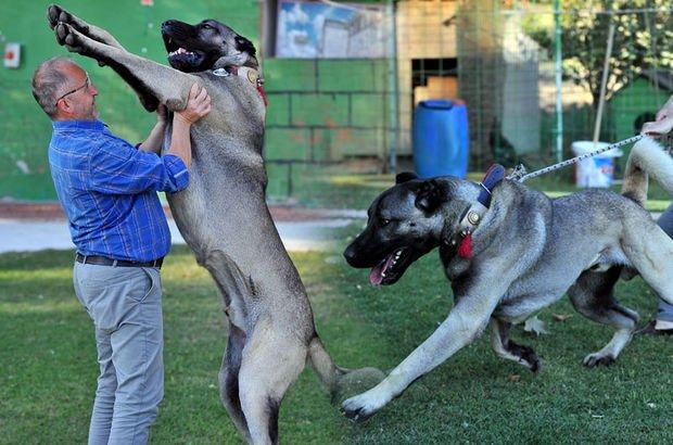 Kangal yavruları için sıraya giriyorlar