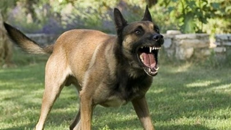 Tekirdağ'da başıboş köpekler 8 yaşındaki çocuğa saldırdı
