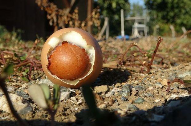 Çok nadir görülen olay! Şaşırtan yumurta