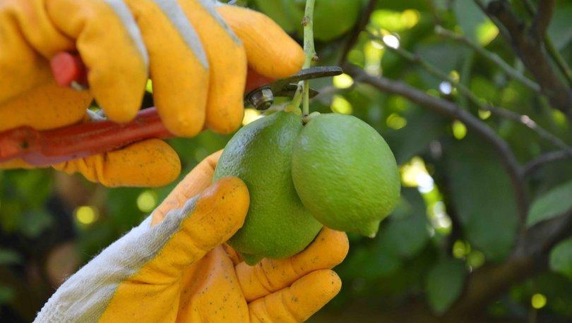 turunçgil ihracatı