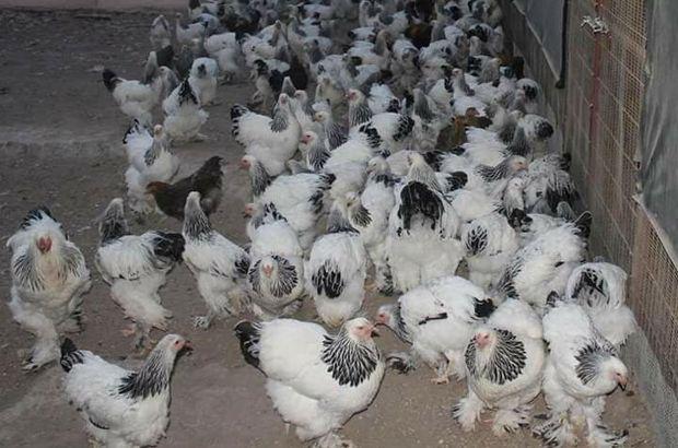 Rüyada tavuk görmek ne anlama gelir?