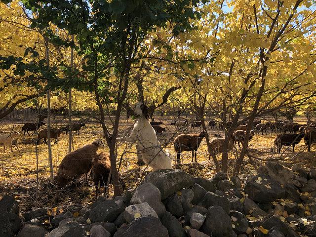 Ağrı Dağı eteklerindeki İrem Bağları'nda sonbahar güzelliği