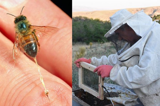 MS ve iltihaplı romatizma hastalıklarına arı zehri