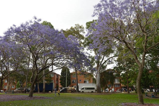 Sydney'i süsleyen mor güzellik: Jakaranda ağaçları