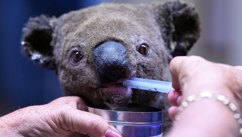Kurtarılma videosunu milyonların izlediği koala öldü