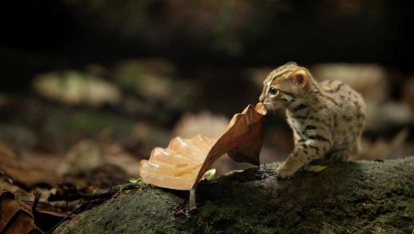 Dünyanın en küçük vahşi kedisi: Paslı kedi
