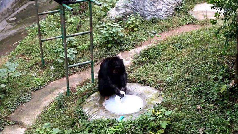 Çamaşır yıkayan şempanze