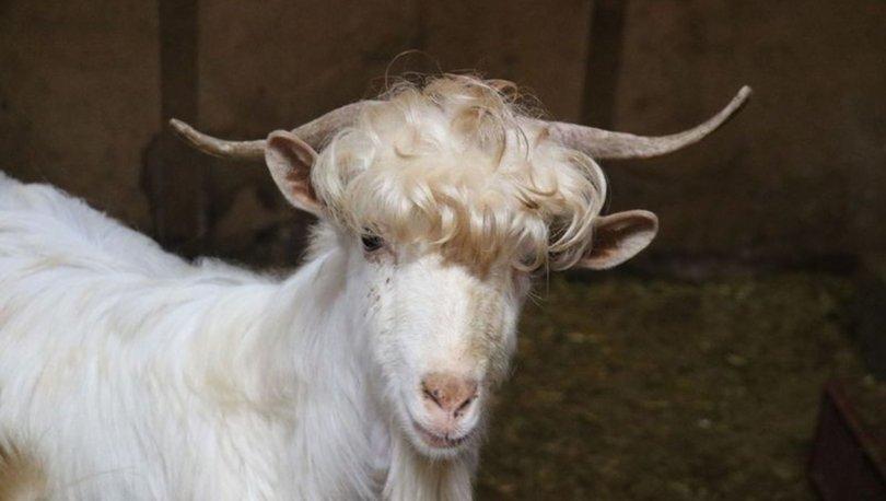 saçları yapılı keçiler
