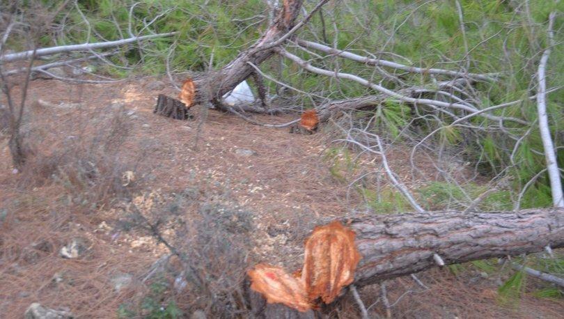 Kızılçam ağaçlarını katleden kişi tutuklandı!