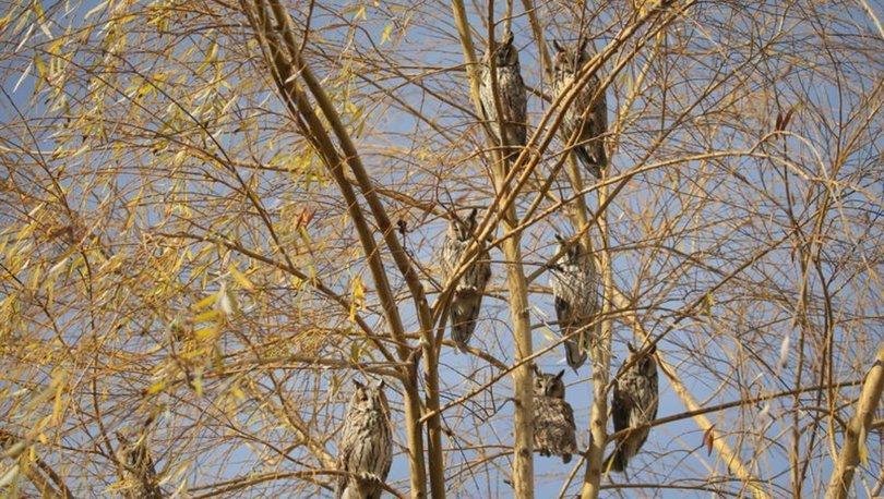Üniversite kampüsündeki ağaç, baykuş kreşi oldu