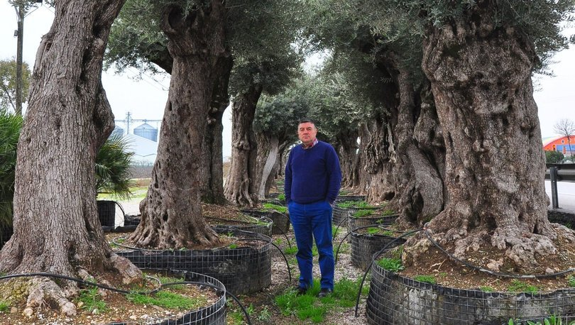 Asırlık ağaçları kurtarıp satıyorlar