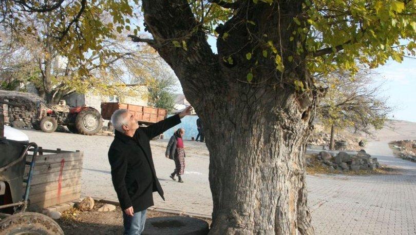 500 yıllık dut ağacı