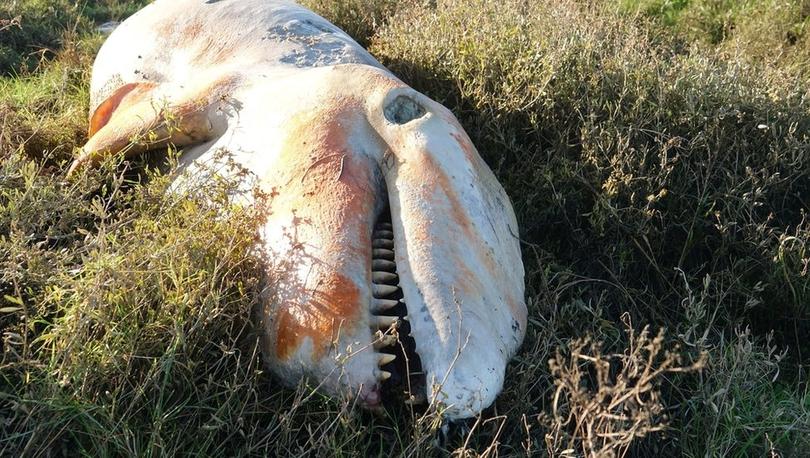 İngiltere kıyılarına vuran katil balinanın midesinden plastik atık çıktı