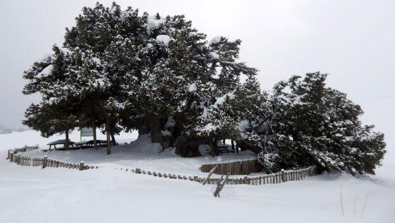 SON DAKİKA KAHREDEN OLAY! 2 bin yıllık anıt ağaç kar yağışına dayanamadı!