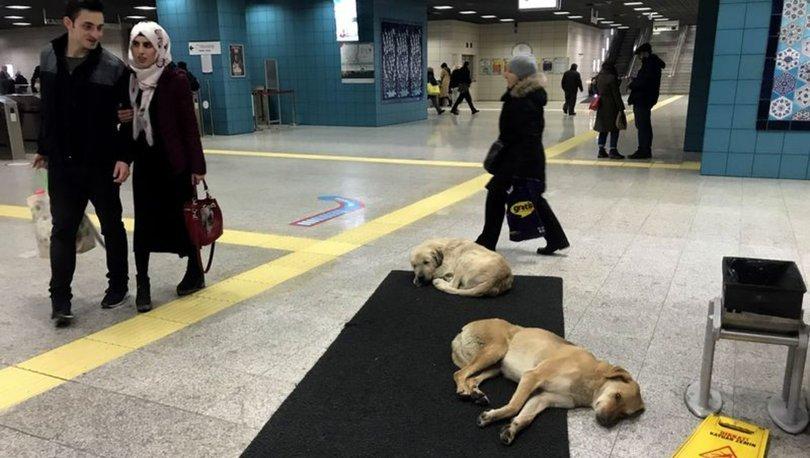 istanbul sokak köpekleri